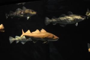 bacalhau_Gadus morhua, o tipo mais tradicional e mais consumido_ Créditos Divulgação